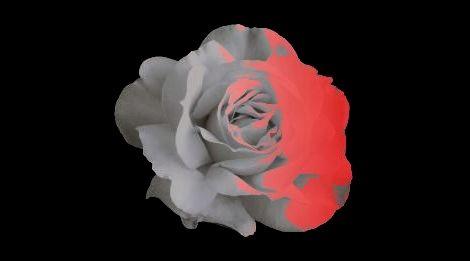 白バラが紅く染まった日