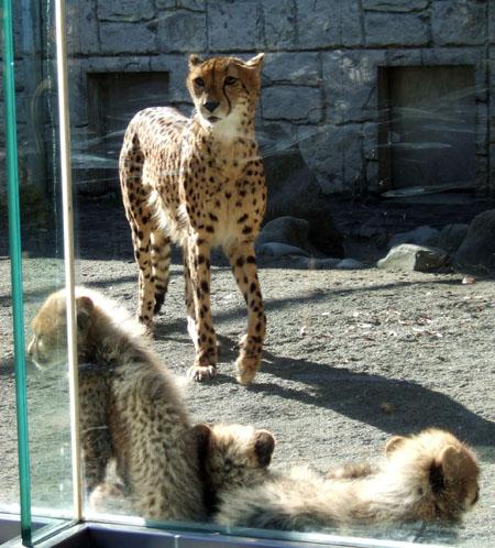 cheeta2