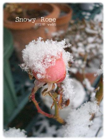 snowyrose.jpg