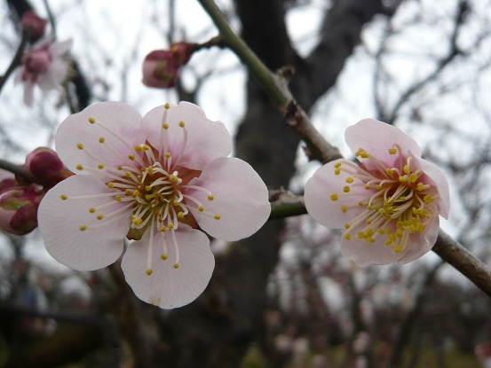 *愛くるしい梅の花*