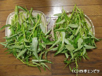 10月24日 エンサイ収穫