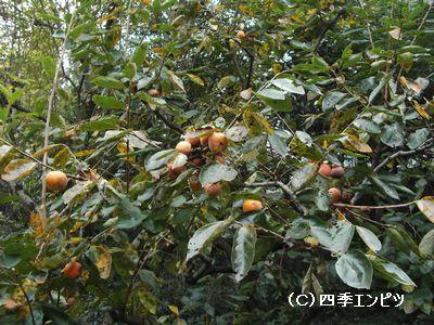 池田山公園 柿の木