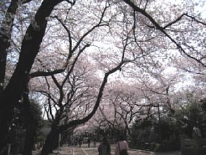 yanaka-sakura1.jpg