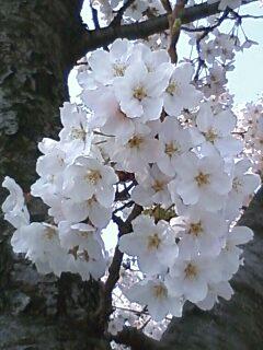 100406桜