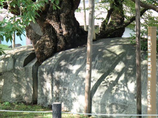 石割桜拡大