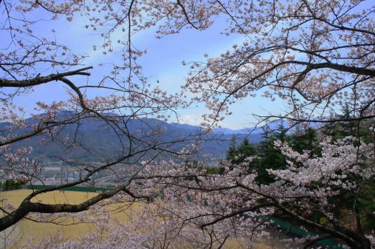 桜 殿原スポーツ公園 富士山