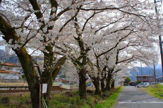 桜 塩之沢駅 線路沿い