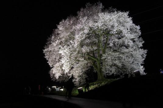 夜桜 わに塚 ローアングル