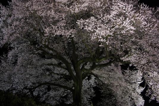 夜桜 わに塚 拡大