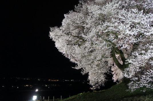 夜桜 わに塚 夜景