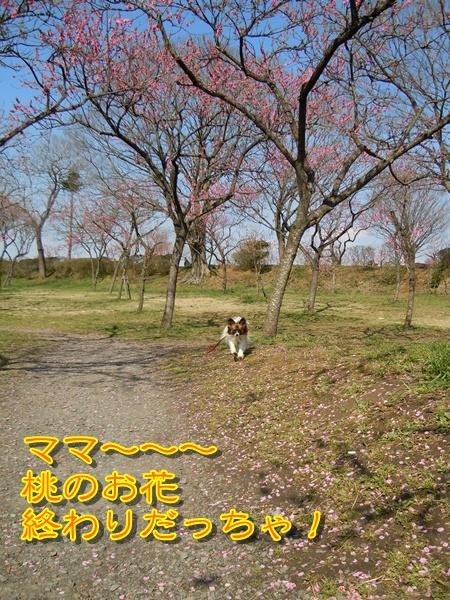 出遅れた桃のお花見(・・,)2
