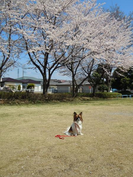 出遅れた桃のお花見(・・,)1