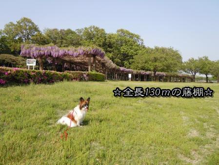 多々良沼の藤棚1