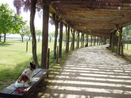 多々良沼の藤棚2