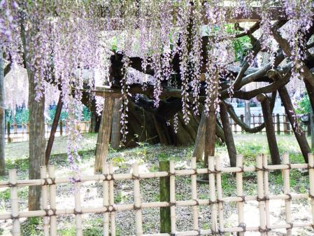 ドッグカフェと樹齢400年の藤5
