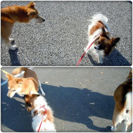 犬種いろいろ一緒にお散歩♪4
