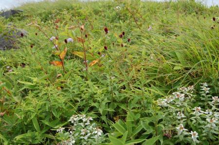車山のお花畑1-31