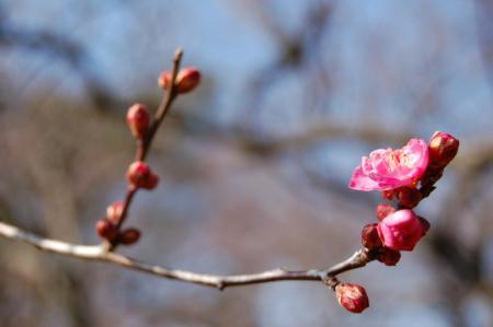 梅の花16
