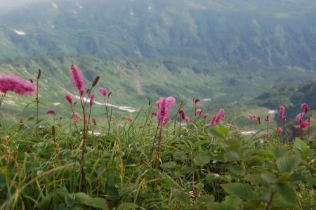 81雪倉岳へ・花