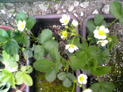 イチゴの花