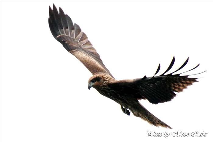 西条市の野鳥 トンビ(鳶、トビ) 愛媛県西条市北浜南 2008年12月13日