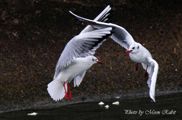 西条市の野鳥 カモメ(鴎) 愛媛県西条市北浜南 2008年12月13日