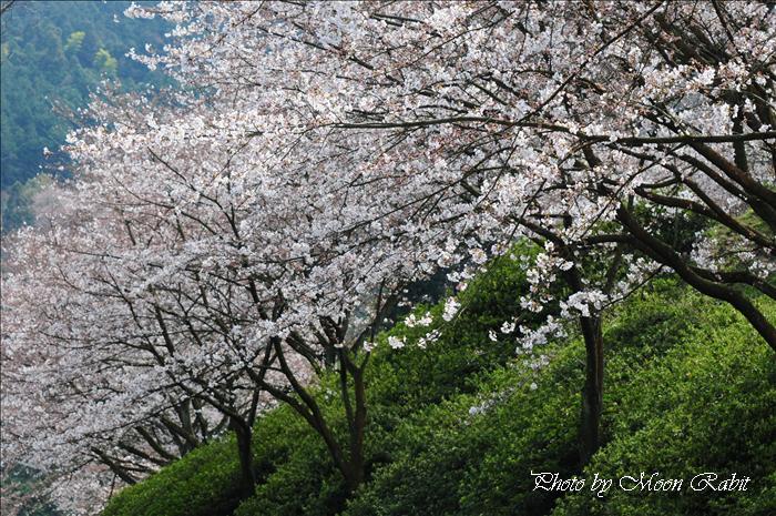 西条市のサクラ・菜の花 西条市市民の森の桜・菜の花とお花見など 愛媛県西条市福武 2009年3月29日