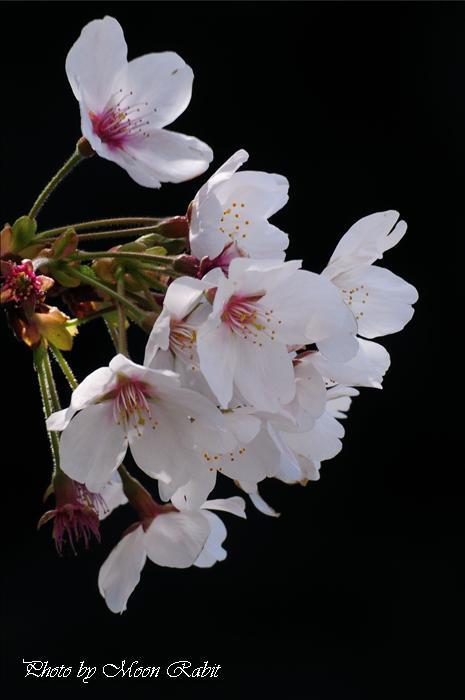 東温市のサクラ(桜)と文化財 東温市則之内(すのうち) 三島神社本殿・木造随身立像(もくぞうずいしんりつぞう)・木造狛犬・池川蜩谷句碑と桜など 2009年3月30日
