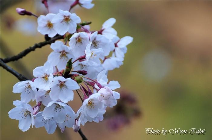 西条市のサクラ 西条市市民の森の桜・お花見など 愛媛県西条市福武 2009年3月31日