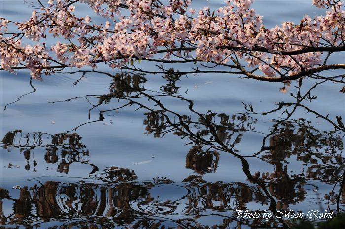 広瀬歴史記念館・広瀬公園・旧広瀬邸の夕暮れの桜とお花見 愛媛県新居浜市上原 2009年4月1日