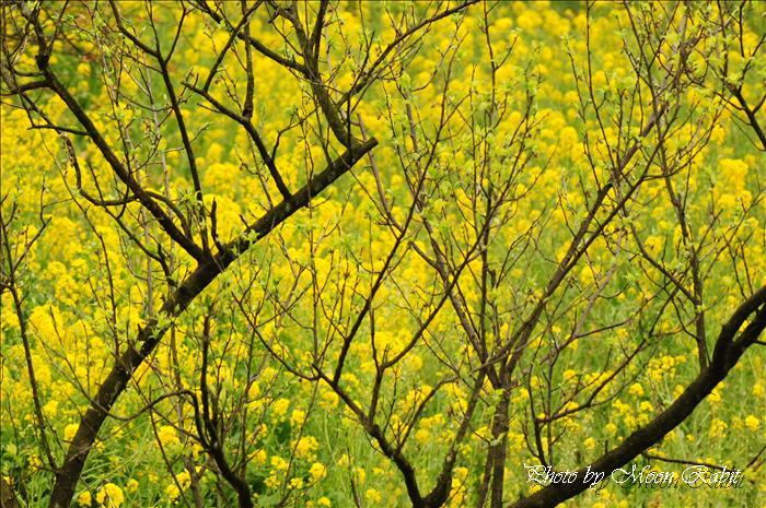 西条市のサクラ 西条市市民の森の桜と菜の花 愛媛県西条市福武 2009年4月2日