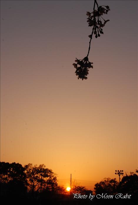 新居浜市の桜 山根公園・山根グラウンド・山根競技場観覧席の夕暮れの桜など 新居浜市角野新田町 2009年4月2日