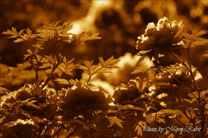 今治市のボタン(牡丹) 今治市市民の森・フラワーパーク(今治市制50年記念公園)の鯉のぼり(こいのぼり、鯉幟)・桜・八重桜(ヤエザクラ)・ボタン(牡丹)・ツツジ(躑躅、つつじ)・フジ棚(藤棚)・スイレン(睡蓮)など 愛媛県今治市山路 2009年4月21日