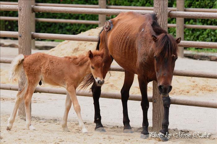 今治市の名所・スポット・馬 野間馬ハイランド(のまうまはいらんど) 愛媛県今治市野間甲8番地 2009年8月7日