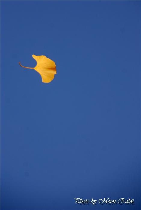 新居浜市のイチョウ(銀杏)と紅葉(モミジ) 慈眼寺のイチョウと紅葉(もみじ) 愛媛県新居浜市滝の宮町 2009年12月2日