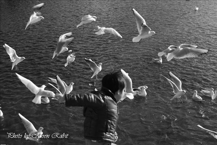 西条市の野鳥 西条高校お堀端のカモメ(鴎)とお子さん 愛媛県西条市明屋敷 2010年1月14日