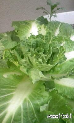 100214白菜(鳥に食べられ)