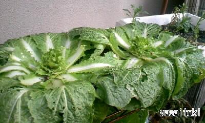 100220白菜