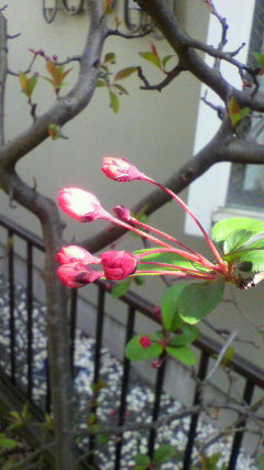 20100322花カイドウ2