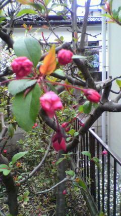 20100327花カイドウ1