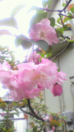20100411ハナカイドウ