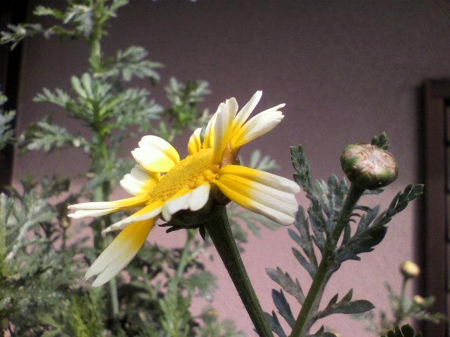 20100504春菊2