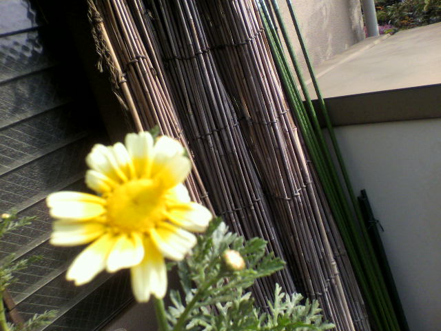 20100504春菊1