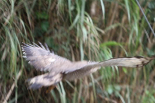 側溝に飛び込むカンムリワシのダイブ!獲物を逃がし飛び去る様子…④