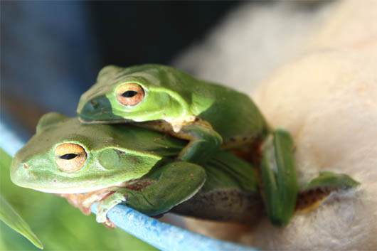 ヤエヤマアオガエルの産卵