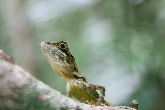 キノボリトカゲ|西表島の人気者