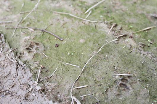 ヤマネコの足跡