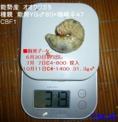 能勢産YG梅313