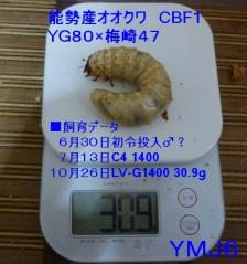 能勢産YG梅309