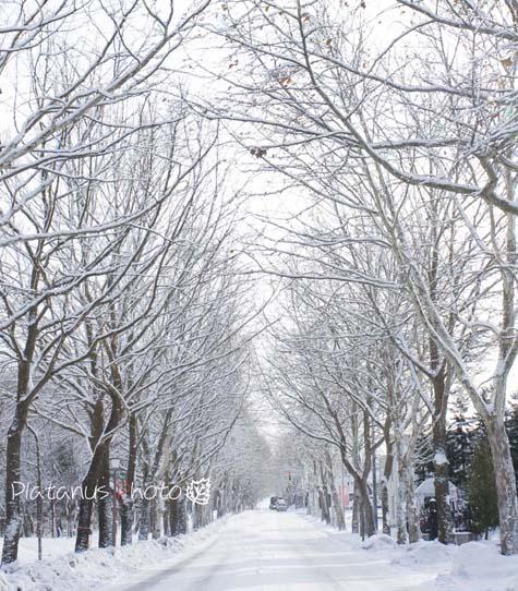 プラタナス並木 冬